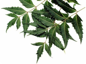 Neem Oil for Treating Dandruff